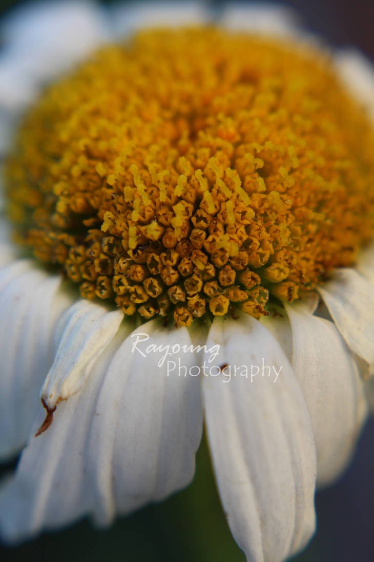 Daisy by rayoung