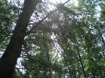 Sun through high branches