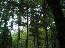 Tree Canopy by steward