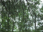 Tree Canopy 2