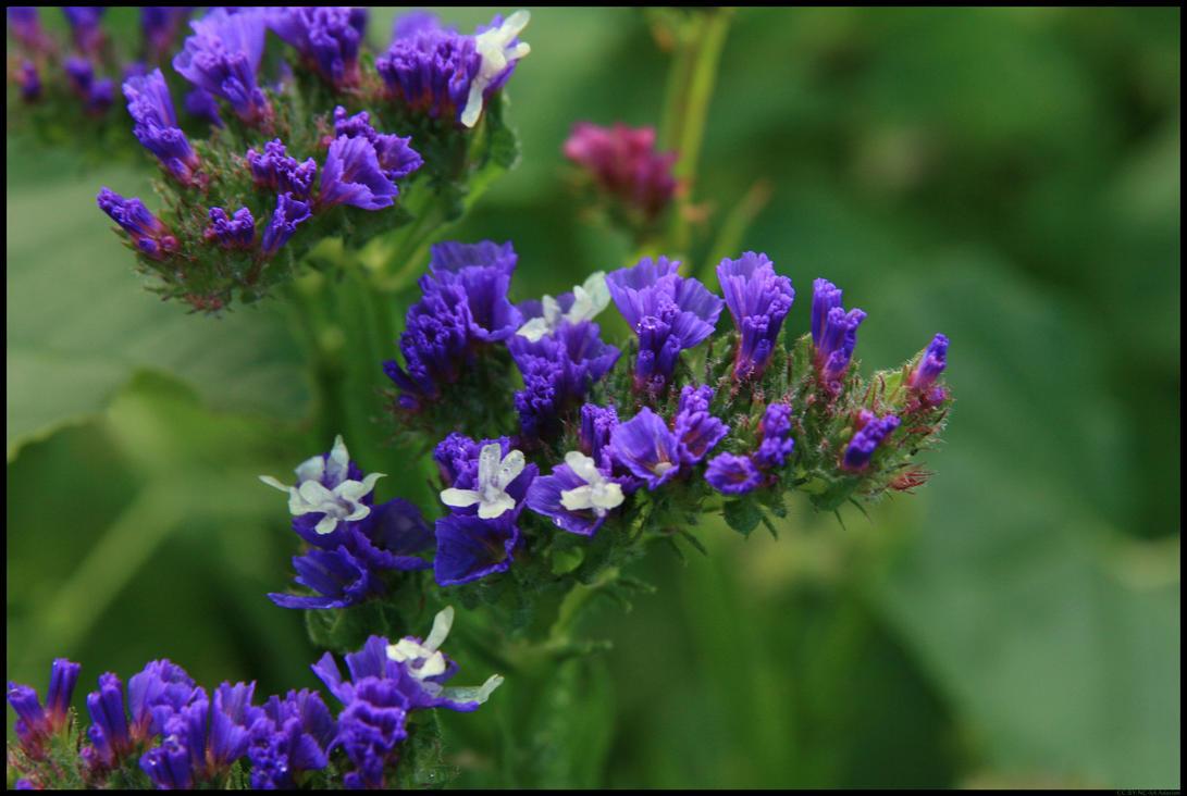 Blue violet flowers 2008 by adarion on deviantart blue violet flowers 2008 by adarion izmirmasajfo