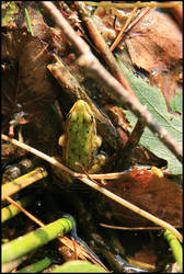 frog at the elven lake 2