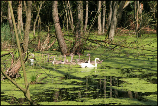 Swans in the swamp