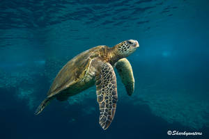 Turtle by Sharkywaters