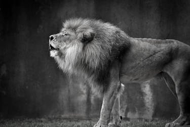 Roaring Lion by Corey-Hall