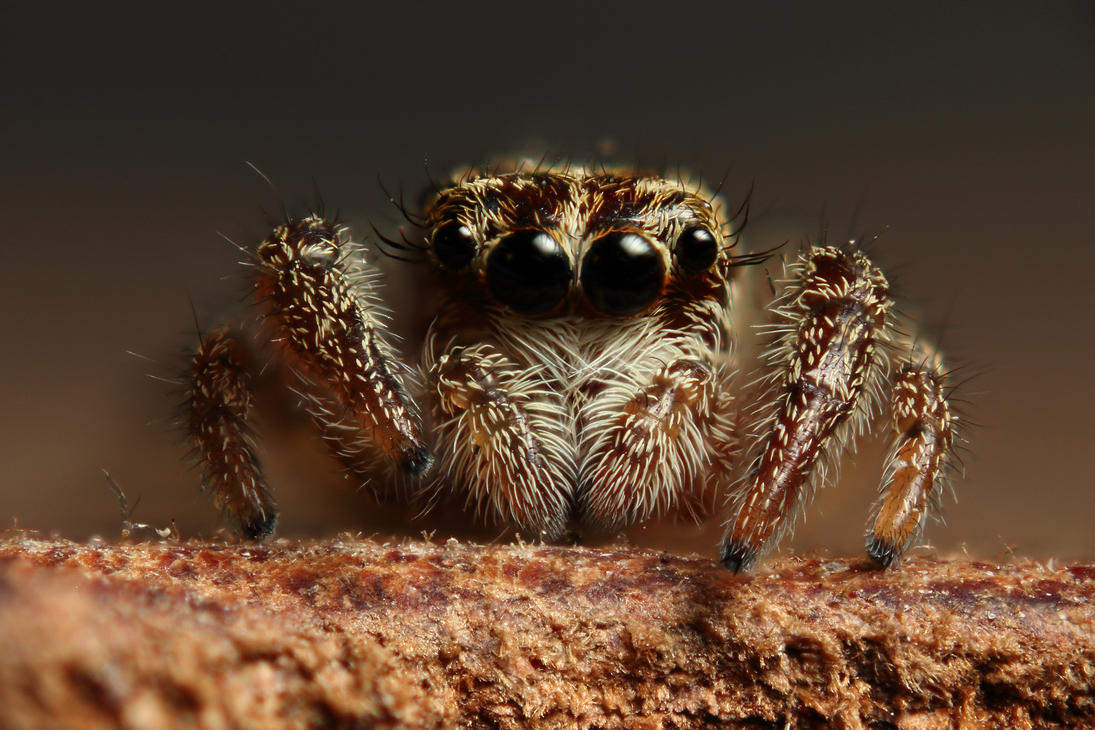 Jumping spider by Vautch