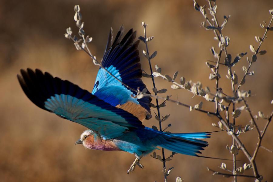 Lilac-breasted Roller by Jaap-Schouten