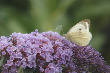 white butterfly and buddleia