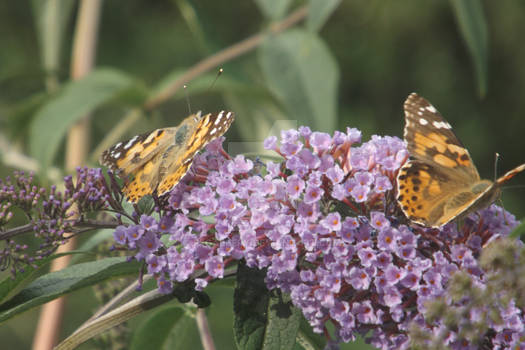 Painted lady butterflies on buddleia
