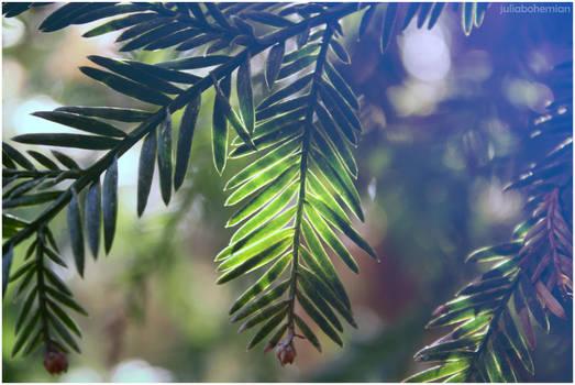 Redwood Bokeh