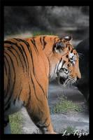 Photo - Le Tigre by tigaer