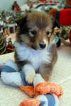 Another Sheltie Puppy