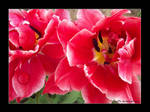 Tulips by Suffle