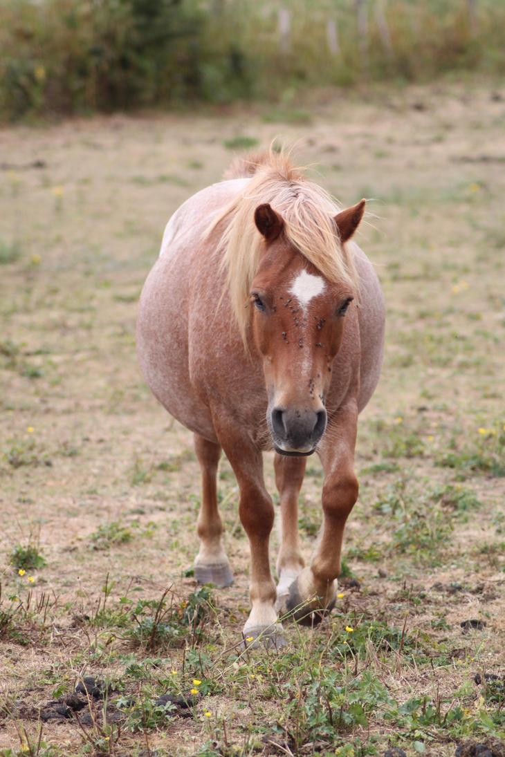 Strawberry roan pony 2 by CitronVertStock on DeviantArt - photo#9