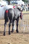 Foal percheron