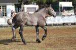 Foal percheron 20