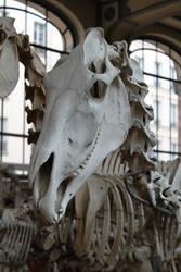 Horse skull by CitronVertStock