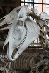 Horse skull 2 by CitronVertStock