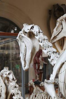 Horse skull 3