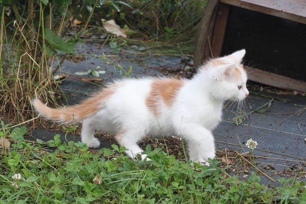 » thank you [kittens] Red_and_white_kitten_by_citronvertstock-d57k20i