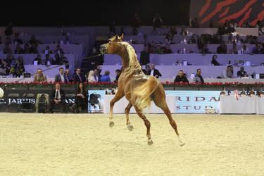 Arabian horse by CitronVertStock