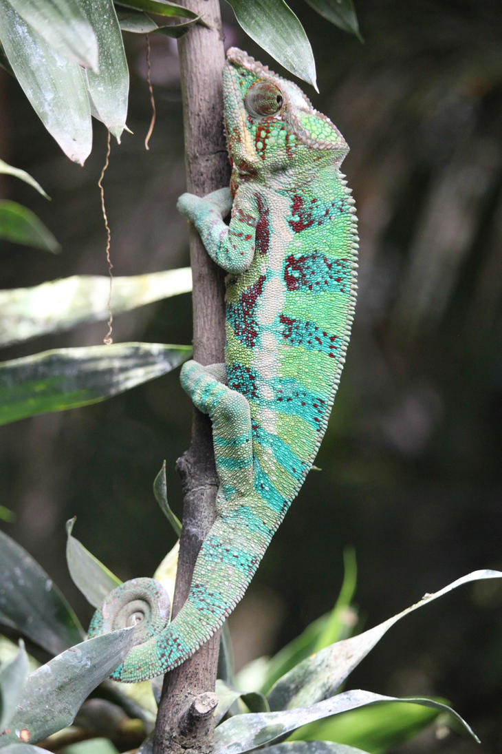 Panther chameleon by CitronVertStock