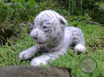 White tiger cub *TYSON* needle felted