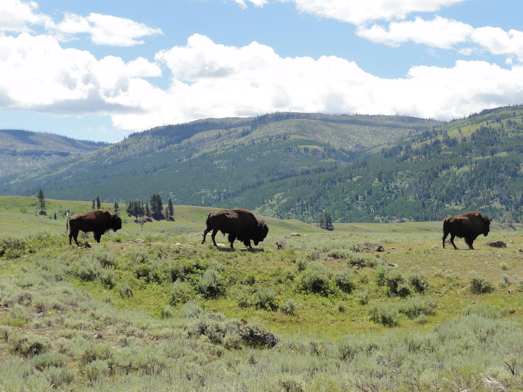 Three bison by Classist