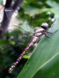 Dragonfly by Ramoonaa