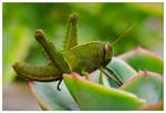 Egypt Grasshopper