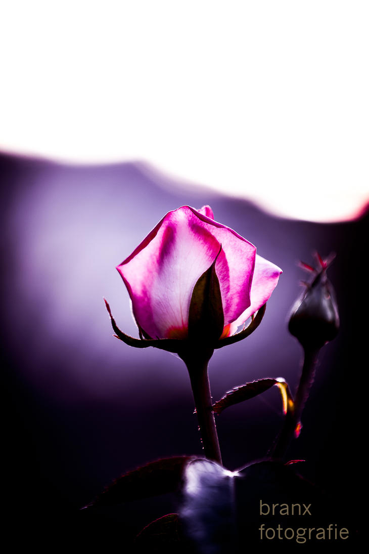 Dark Summer Rose by tigerjet