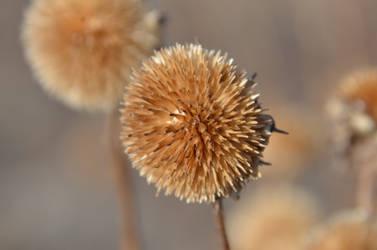 Dry flower by rohrej