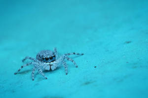Jumping spider on smooth wall by Kisarisary