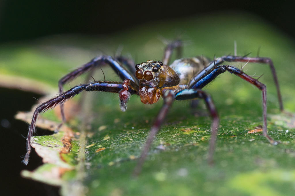 Jumping spider of another kind by Kisarisary