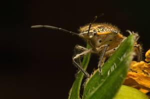 Hairy and Stinky [Pentatomidae aka Stink Bug] by Kisarisary