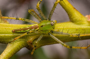 Green Lynx spider dorsal view