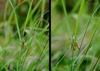 Grasshopper by ljenda