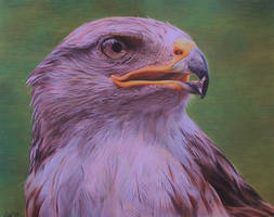 Ferruginous hawk by GW78