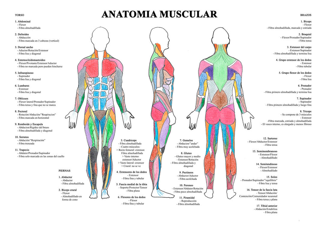 Anatomia muscular humana by itxasolazkano on DeviantArt