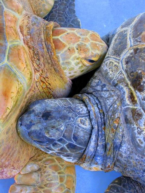 Sea turtles, Flatts, Bermuda by erauer