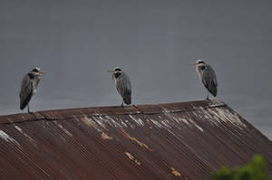 Birds on old house's roof.
