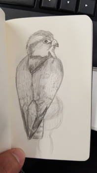 Sketch-a-day #25 - Peregrine falcon