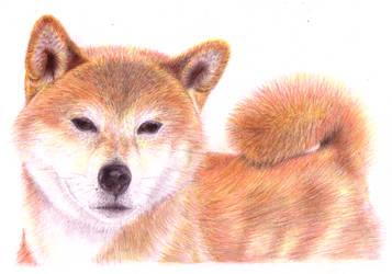 Shiba Inu by Shinti