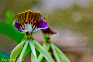Orchid by firerain3