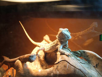 my bearded dragon sunning by Australian-Dragon