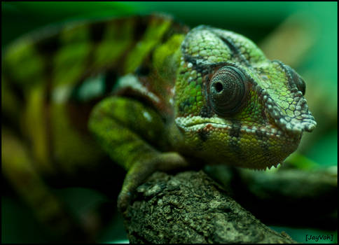 Panther Chameleon II