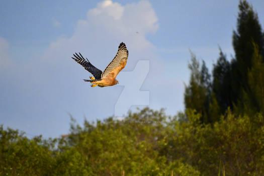 Flight - Red Shouldered Hawk