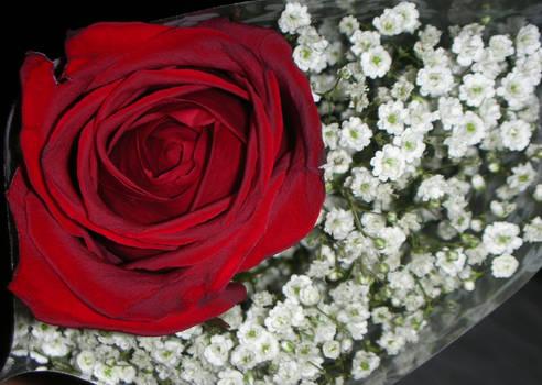 Rose -Unfinished-