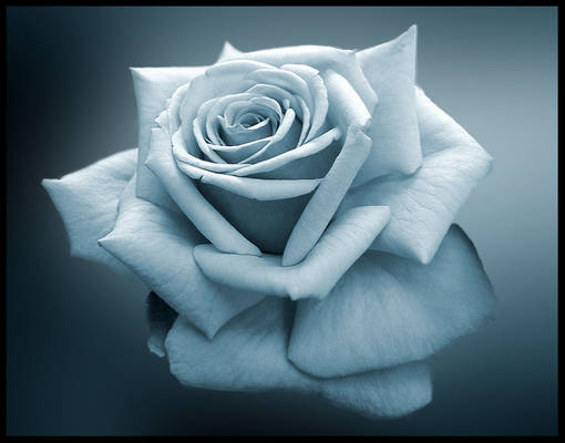 the simple rose