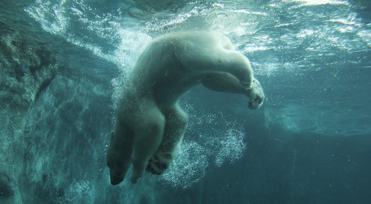 polar bear by ssilence